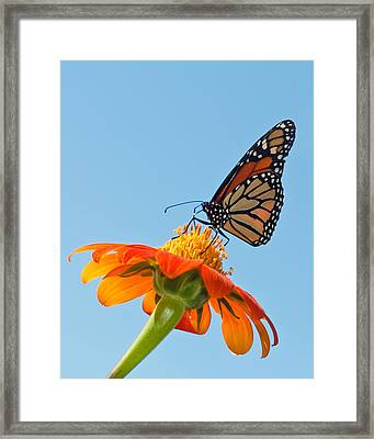 Monarch II Framed Print by Dawn Currie