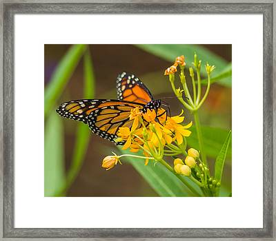 Framed Print featuring the photograph Monarch by Jane Luxton