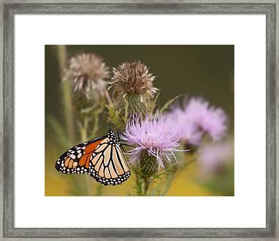 Monarch Framed Print by Jim Finch