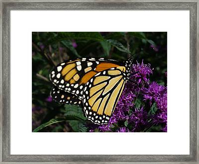 Framed Print featuring the photograph Monarch by Lingfai Leung