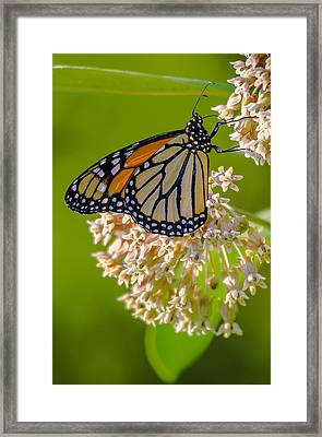 Monarch Nectaring Framed Print