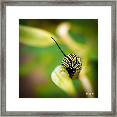 Monarch Offspring Squared Framed Print by TK Goforth