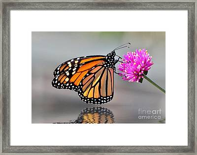 Monarch On A Pink Flower Framed Print by Kathy Baccari