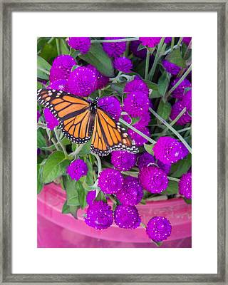 Monarch On Bachelor Buttons Framed Print