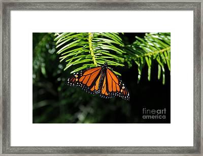 Monarch On Evergreen Framed Print