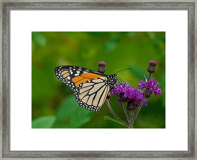 Monarch On Iron Weed Framed Print