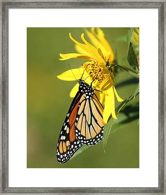Monarch On Jerusalem Artichoke Framed Print