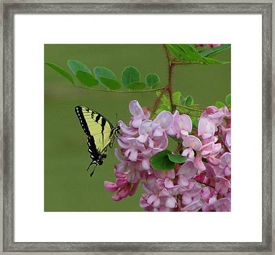 Monarch On Locust Framed Print by Carol Hoffman