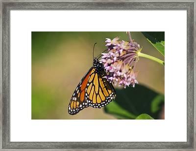 Monarch On Milkweed Framed Print by Shelly Gunderson