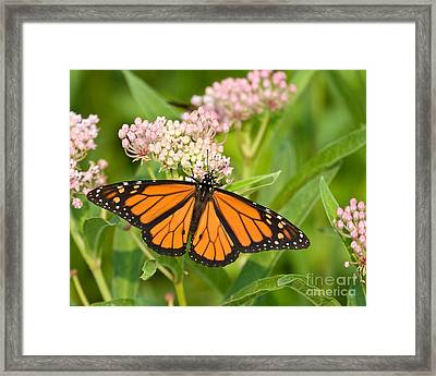 Monarch On Pink Framed Print by Dale Nelson