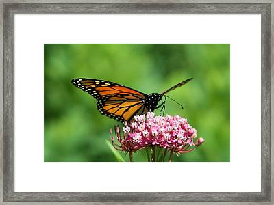 Monarch On Pink Wildflower Framed Print