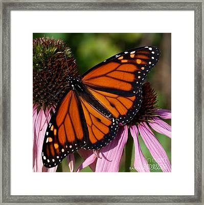 Framed Print featuring the photograph Monarch On Purple Coneflower by Barbara McMahon