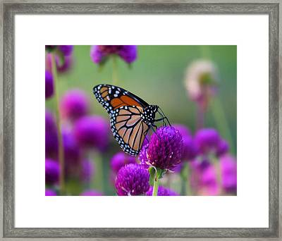 Monarch On Purple Flowers Framed Print