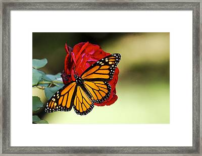Monarch On Rose Framed Print by Debbie Karnes