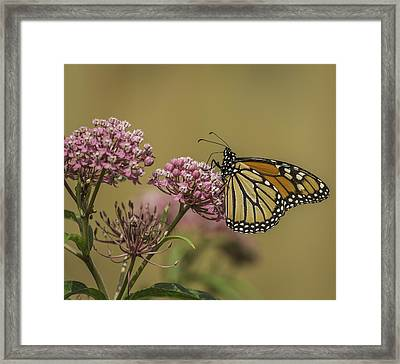 Monarch On Swamp Milkweed Framed Print by Thomas Young