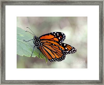 Monarch Resting On A Leaf Framed Print