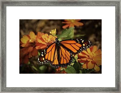 Monarch Spotlight. Framed Print