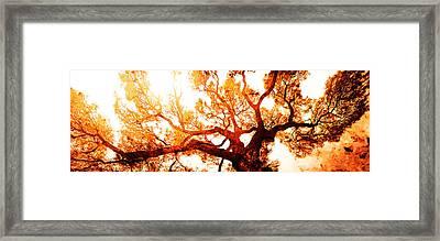 Monarch Tree Framed Print by J- J- Espinoza