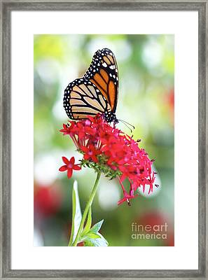Monarch V Framed Print by Pamela Gail Torres