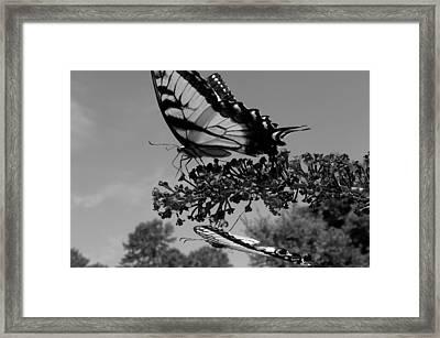 Swallotail In Black And White Framed Print by Kim Galluzzo Wozniak