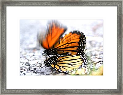 Framed Print featuring the photograph Monarchs In Love by Thomas Bomstad