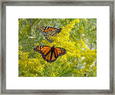 Monarchs On Goldenrod Framed Print