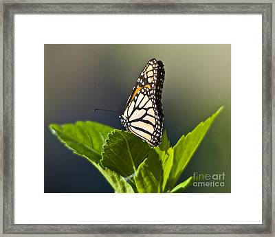 Monark Butterfly No. 2 Framed Print