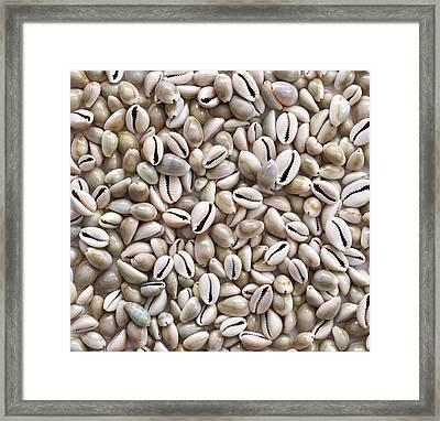 Money Cowry Sea Shells Framed Print by Science Photo Library