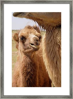 Mongolia, Lake Tolbo, Bactrian Camels Framed Print by Emily Wilson