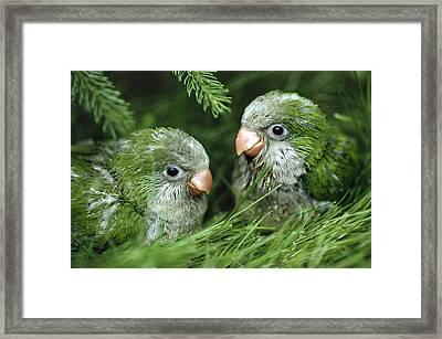Monk Parakeet Chicks Framed Print by Paul J. Fusco