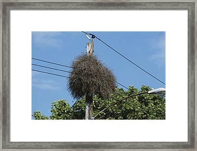 Monk Parakeet Nest Framed Print by Paul J. Fusco