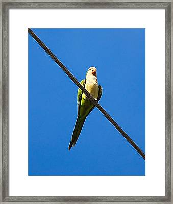 Monk Parakeet Framed Print by Rich Leighton