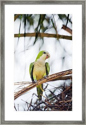 Monk Parakeet Framed Print