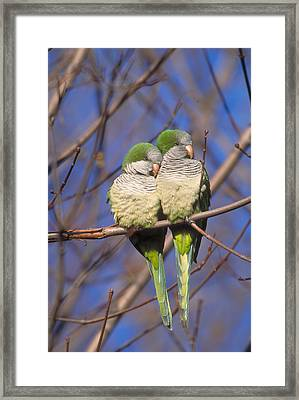Monk Parakeets Framed Print by Paul J. Fusco
