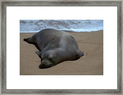 Monk Seal Sunning Framed Print by Brian Harig