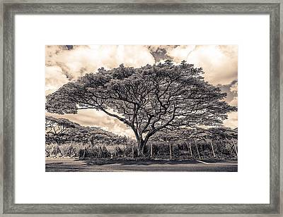 Monkey Pod Tree Framed Print