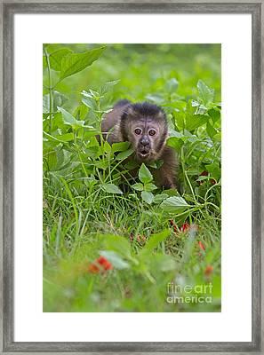 Monkey Shock Framed Print by Ashley Vincent