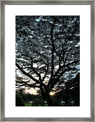 Monkeypod Sunrise Framed Print by Leana Levinsohn