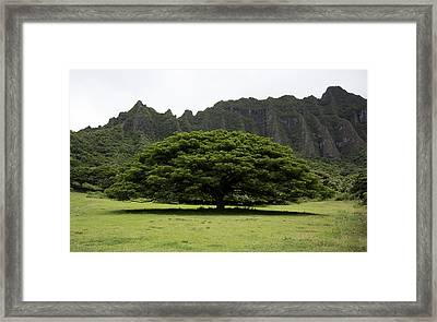 Monkeypod Tree Framed Print by Debra Casey