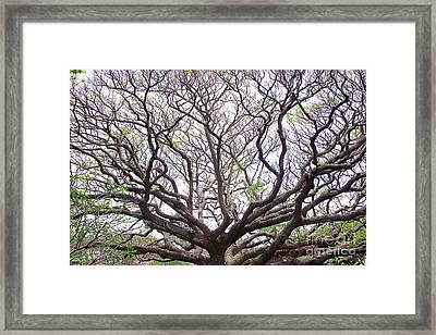 Monkeypod Tree Framed Print by Debra Orlean