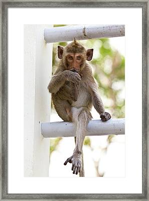 Monkeys Cute Sitting On A Steel Fence Framed Print
