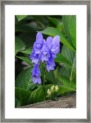 Monkshood Blossom Framed Print by Paul Miller