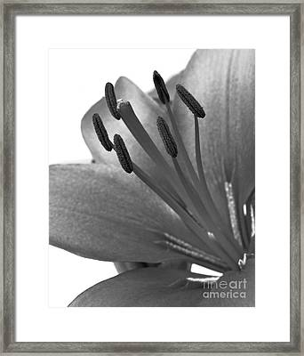 Monochrome Asian Lily Framed Print