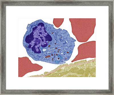 Monocyte White Blood Cell Framed Print by Steve Gschmeissner