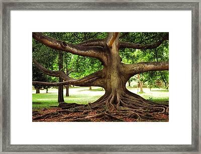 Monster Tree. Old Fig Tree In Peradeniya Garden. Sri Lanka Framed Print