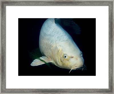 Monster White Koi Face To Face Framed Print by Jean Noren