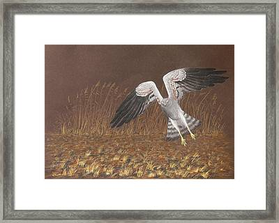 Montagus Harrier Framed Print by Deak Attila