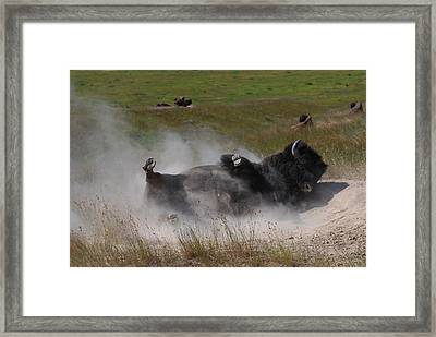 Montana Bison 1 Framed Print by T C Brown