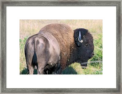Framed Print featuring the photograph Montana Buffalo Bison Bull by Karon Melillo DeVega