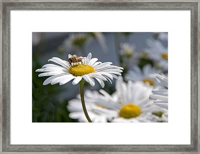 Montauk Daisy With Bee  Framed Print by Bob Mulligan